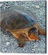 Tired Turtle Acrylic Print