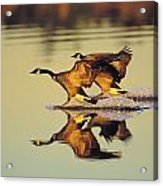 Tk0157, Thomas Kitchin Canada Geese Acrylic Print