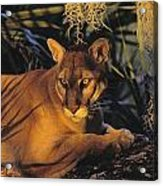 Tk0397, Thomas Kitchin Florida Panther Acrylic Print