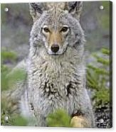 Tk0607, Thomas Kitchin Coyote In Spring Acrylic Print