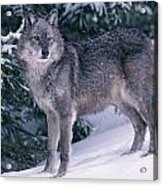 T.kitchin, 19821c Gray Wolf, Winter Acrylic Print