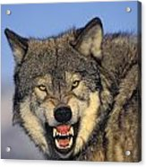 T.kitchin Wolf Snarling Acrylic Print by First Light