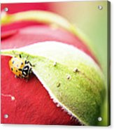 To Live Upon Such Colored Satin Acrylic Print