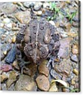 Toad Of Toad Hall Acrylic Print