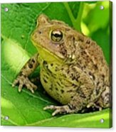 Toad Sitting Acrylic Print