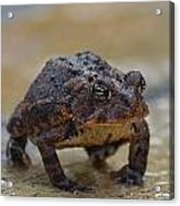 Toad Takes A Stance Acrylic Print