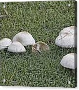 Toadstools V5 Acrylic Print