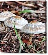Toadstools V7 Acrylic Print
