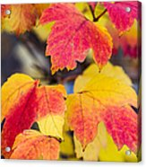 Toasted Autumn - Featured 3 Acrylic Print