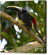 Toco Toucan Amazon Jungle Brazil Acrylic Print