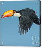 Toco Toucan In Flight Acrylic Print