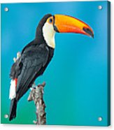 Toco Toucan Perched Acrylic Print