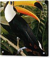 Toco Toucan Ramphastos Toco Calling Acrylic Print