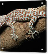 Tokay Gecko In Defensive Display Acrylic Print