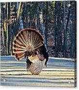 Tom Turkey Fan Acrylic Print