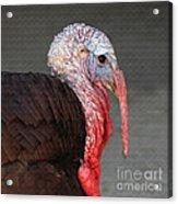 Tom Turkey Portrait Acrylic Print