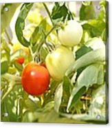 Tomatoes On The Vine Acrylic Print