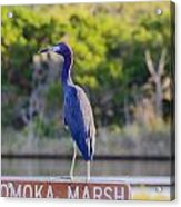 Tomoka Marsh Little Blue Heron Acrylic Print
