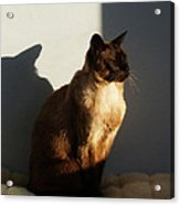 Tonkinese Sunlit Nap Acrylic Print