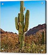 Tonto National Forest Saguaro Acrylic Print
