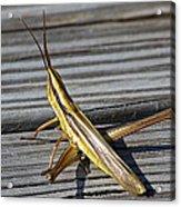 Toothpick Grasshopper Acrylic Print