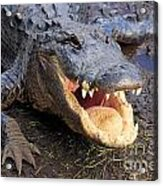 Toothy Grin Acrylic Print by Adam Jewell