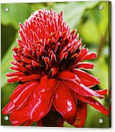 Torch Ginger Single  Acrylic Print