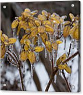 Toronto Ice Storm 2013 - My Garden In The Morning Acrylic Print