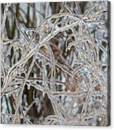 Toronto Ice Storm 2013 - Pale Frozen Grasses  Acrylic Print
