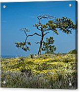 Torrey Pine On The Cliffs At Torrey Pines State Natural Reserve Acrylic Print