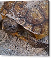 Tortoise By Nature Acrylic Print