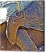 Tortoise One Acrylic Print