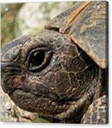 Tortoise Portrait In Macro Acrylic Print