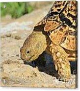 Tortoise Pose Acrylic Print