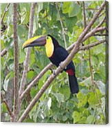 Toucan Acrylic Print by Gregory Young