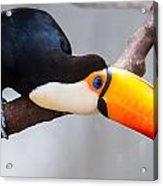 Toucan Ramphastos Toco Sitting On Tree Branch In Tropical Fore Acrylic Print
