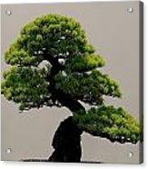 Touch Of Bonsai Acrylic Print
