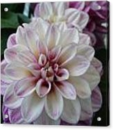 Touch Of Pink Dahlia Acrylic Print