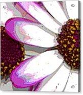 Touch Of Pink Osteospermum Trio B Acrylic Print