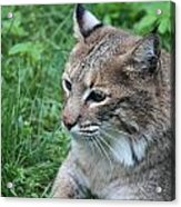 Tough Cat Acrylic Print