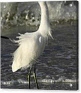Tousled Egret Acrylic Print