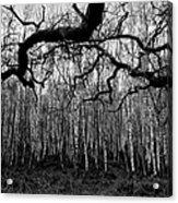 Towards The Silver Birches Acrylic Print