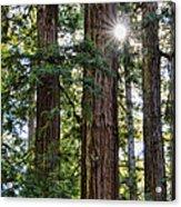 Towering Redwoods Acrylic Print