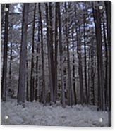 Towering Trees Over Ferns In Blue Acrylic Print
