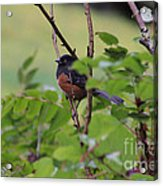 Towhee Keeps Watch On High Acrylic Print by Kym Backland