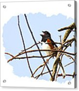 Towhee Singing On Top Of Mountain Acrylic Print