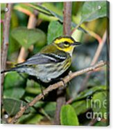 Townsends Warbler In Tree Acrylic Print