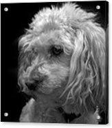 Toy Poodle Acrylic Print