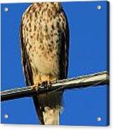 Traffic Hawk Acrylic Print