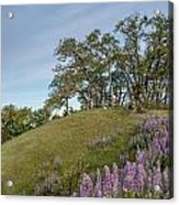 Trail Of Lupine Acrylic Print